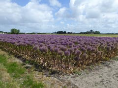 Im Blumemland Holland. (Bild: Hans Scheidegger)