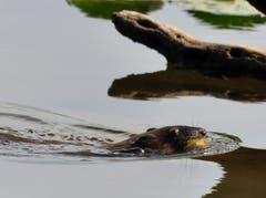 Der Biber holt sich bereits am späten Nachmittag (16.43h) die Seerosenblätter ans Ufer. Aufgenommen am Bommerweiher. (Bild: Urs Fankhauser)