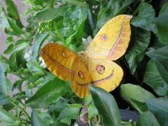 Ein Japanischer Eichenseidenspinner Schmetterling. (Bild: Regina Sapin (Kärnten, 12. August 2018)