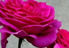 Zarte Verführung - Pink Rose in einem Garten von St. Gallen. (Bild: Doris Sieber)