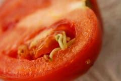 Keimende Tomate. (Bild: Guido Fritschi).
