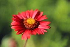 Der rote Sonnenhut ist eine wertvolle Arztneipflanze und sollte eigentlich in keinem Garten fehlen. (Bild: Xaver Husmann (Rain, 12. August 2018))