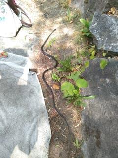 Die Touristen sollen mal Platz machen, auch Schlangen geniessen gerne ein Sonnenbad an der Maggia! (Bild: Maggiatal, 12. August 2018))
