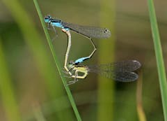 Azurjungfern-Libellen. (Bild: Bruno Schuler (Rotsee, 11. August 2018))