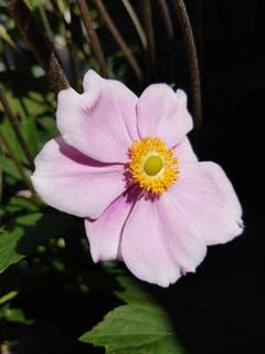 Im samtenen Rosa stehe ich in der Sonne. (Bild: Reto Schlegel)
