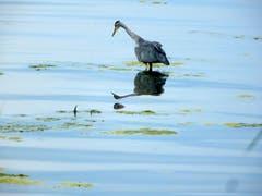 Spieglein Spieglein … Graureiher betrachtet sein Spiegelbild im Bodensee. (Bild: Doris Sieber)