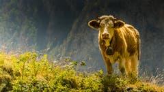 Eine neugierige Kuh beobachtet den wandernden Fotografen. (Bild: Stefan Truffer)