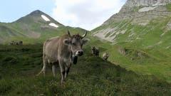 Aufgenommen wurde das Bild mit den weidenden Kühen im Gebiet «Bei den Seelenen» auf der Alp Oberbolgen im Isental. (Bild: Josef Arnold, 23. Juli 2018)