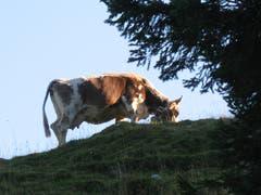 Guten Morgen erster Sonnenstrahl! Eine Kuh geniesst die Morgensonne auf der Schwägalp. (Bild: Hansjürg Oesch)