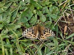 Von bunten Schmetterlingen gibt es viel zu viel, trotz intensiver Namenssuche im Google führte es nicht zum Ziel. (Bild: Margrith Imhof-Röthlin (Klewenalp, 15. August 2018))