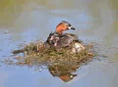 Ein Zwergtaucher mit Nachwuchs. Der Zwergtaucher ist der kleinste Fisch fressende Wasservogel. (Bild: Urs Fankhauser)