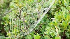 Spinnennetz im Morgentau. (Helene Gosswiler (15. August 2018))