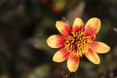 Dahlien sind etwas anspruchsvoller in der Pflege als andere Sommerblumen. Zur Entschädigung für all die Mühe blühen sie dann aber auch besonders schön, üppig und ausdauernd. (Bild: Xaver Husmann (Rain, 18. August 2018))