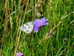 Schachbrett-Schmetterling beim Nektar saugen auf dem Hohen Hirschberg. (Bild: Doris Sieber)
