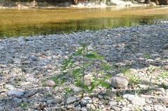 In der Untermüli in Bütschwil hätte das Wasser noch viel Platz im Flussbett, es könnte sogar diese Pflanzen überspülen. (Bild: Sabine Schmid)