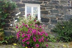 Blumenpracht an einem Haus Schottland. (Bild: Josef Habermacher (Broomhill, 21. August 2018))