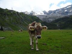 Kuh auf der Weide. (Bild: Josef Müller (Trübsee, 22. August 2018))