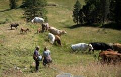 Die Kühe haben schnell gemerkt, dass sich ihnen ein neuer Teil der Weide erschlossen hat. Bild: Corinne Glanzmann (Flühli, 08. August 2018)