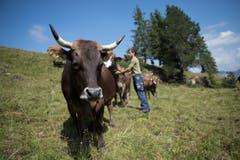 Die meisten Kühe der Achermanns tragen Hörner. Bild: Corinne Glanzmann (Flühli, 08. August 2018)