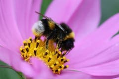 Hummel gehören zur Gattung der Wildbienen. Sie tragen auch im Hochsommer einen Pelz und fliegen 18 Stunden am Tag. (Bild: Xaver Husmann, 25. August 2018)