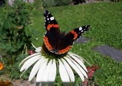 Wenn Schmetterling auf Sonnenhut trifft. Fantastisch! (Bild: Gabriela Russi-Schweitzer, 26. August 2018)