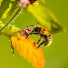 Biene sammelt Nektar. (Bild: Petra Jung, Hämikon, 26. August 2018)