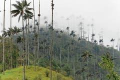 Kolumbiens Nationalbaum ist die Wachspalme.