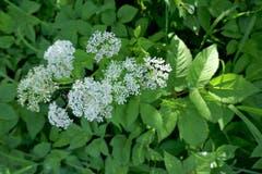 Leser Josef Habermacher fand filigrane Blüten im lichten Wald. (Bild: Josef Habermacher)