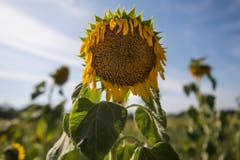 Eine vertrocknete Sonnenblume steht auf einem Feld in Sachsen. (Bild: Keystone)