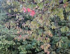 Die ersten Kirschbaumblätter verfärben sich schon. (Bild: Josef Habermacher)
