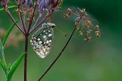 Früh am Morgen sind die Schmetterlinge noch nicht aktiv, so dass man sie gut fotografieren kann. (Bild: Marianne Schmid (Maderanertal, 1. Auguist 2018))