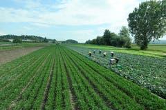 Gemüseanbau im Berner Seeland. (Bild: Josef Habermacher, 30. August 2018)