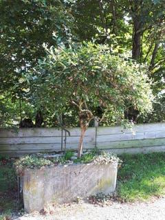 Wenn Bäume aus dem Brunnen wachsen. (Bild: Ernst Goldiger)