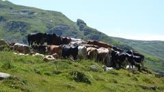 Diese Kühe hoffen auf ein kühles Lüftchen und schützen sich gegenseitig gegen die vielen Fliegen und Bremsen. (Bild: Willy Graber (Hasliberg, 4. August 2018))