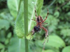 Eine Spinne beim genüsslichen Verspeisen einer Mahlzeit. (Bild: Peter Imboden, 4. August 2018)