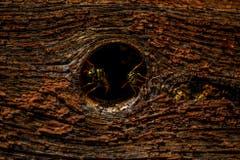 Zwei Wespen bewachen den Eingang zu ihrem Nest hinter einem Astloch. (Bild: Matthias Rozinek)