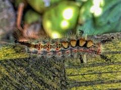 Noch nie gesehen, den Schlehen Bürstenspinner (Bild: Toni Sieber)
