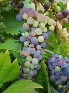 Farbenvielfalt der Traubenbeeren. (Bild: Reto Schlegel)