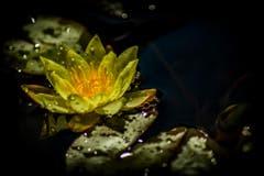 Rehetobel: Eine gelbe Wasserrose in voller Blüte. Bild: Matthias Rozinek