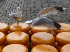 Am Käsemarkt in Alkmaar, Holland, sichern sich die Möwen ihren Anteil (Bild: Hans Scheidegger)