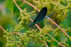 Wunderschön schillernde Libelle. (Bild: Luciano Pau)