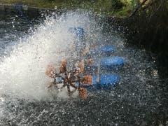Abkühlung für die Forellen im Blausee. (Bild: Helene Grosswiler, Blausee, 8. August 2018)