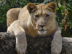 Ich bin ein Basler Zoo Löwe ohne Mähne. Ich war beim Coiffeur. Und zum Herumlaufen hab ich auch keine Lust. (Bild: Josef Müller, Zoo Basel, 8. August 2018)