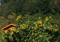 Von weit sichtbar sind diese Sonnenblumen – innerhalb der Familiengärten – nahe Sedel und Rotsee. (Bild: Georgette Baumgartner-Krieg (Luzern, 9. September 2018))