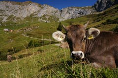 Auf unserer Wanderung über Biel in Richtung Hüenderegg, Schächental begegneten wir diesem neugierigen Rind. (Bild: Peter Schorno (Schächental, 9. September 2018))