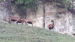 Die Ziegen geniessen das herrliche Herbstwetter in vollen Zügen. (Bild: Hanny Wirz (Steinhuserberg, 11. September 2018))