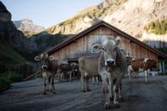 Kühe trotten nach dem Melken zur Weide. (Bild: KEYSTONE/Gian Ehrenzeller (12.09.2018))