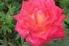 Schwitzende Rose im Rosengarten Schloss Heidegg. (Bild: Edi Ulmi, 15. September 2018)