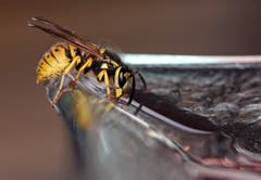 Die Wespe von der Seite betrachtet (Bild: Bruno Schuler)