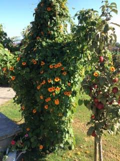 """Der Aprikosenbaum ist gestorben,für die """"Schwarzäugige Susanne"""" eine perfekte Gelegenheit zum Klettern. (Bild: Josef und Lisbeth Bucheli)"""
